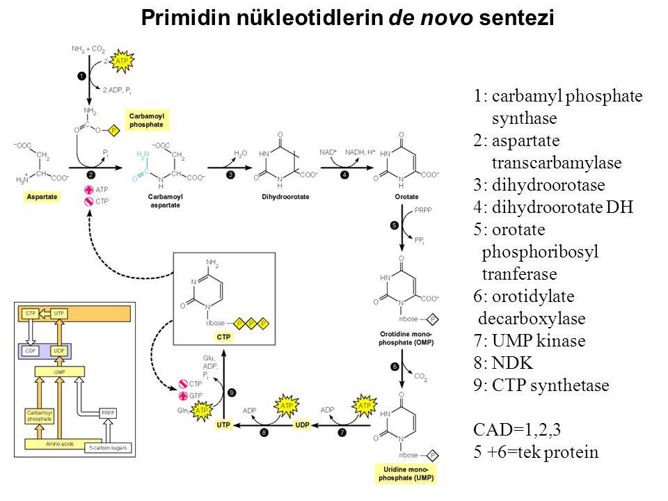 1: carbamyl phosphate synthase 2: aspartate transcarbamylase 3: dihydroorotase 4: dihydroorotate DH 5: orotate phosphoribosyl tranferase 6: orotidylat