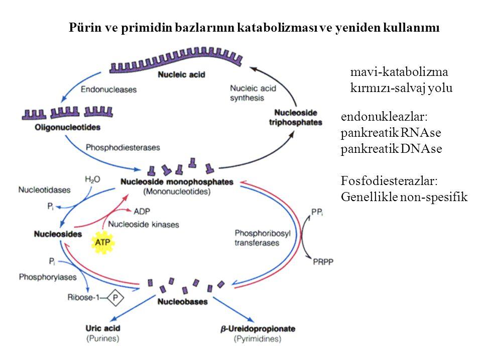 Pürin ve primidin bazlarının katabolizması ve yeniden kullanımı mavi-katabolizma kırmızı-salvaj yolu endonukleazlar: pankreatik RNAse pankreatik DNAse