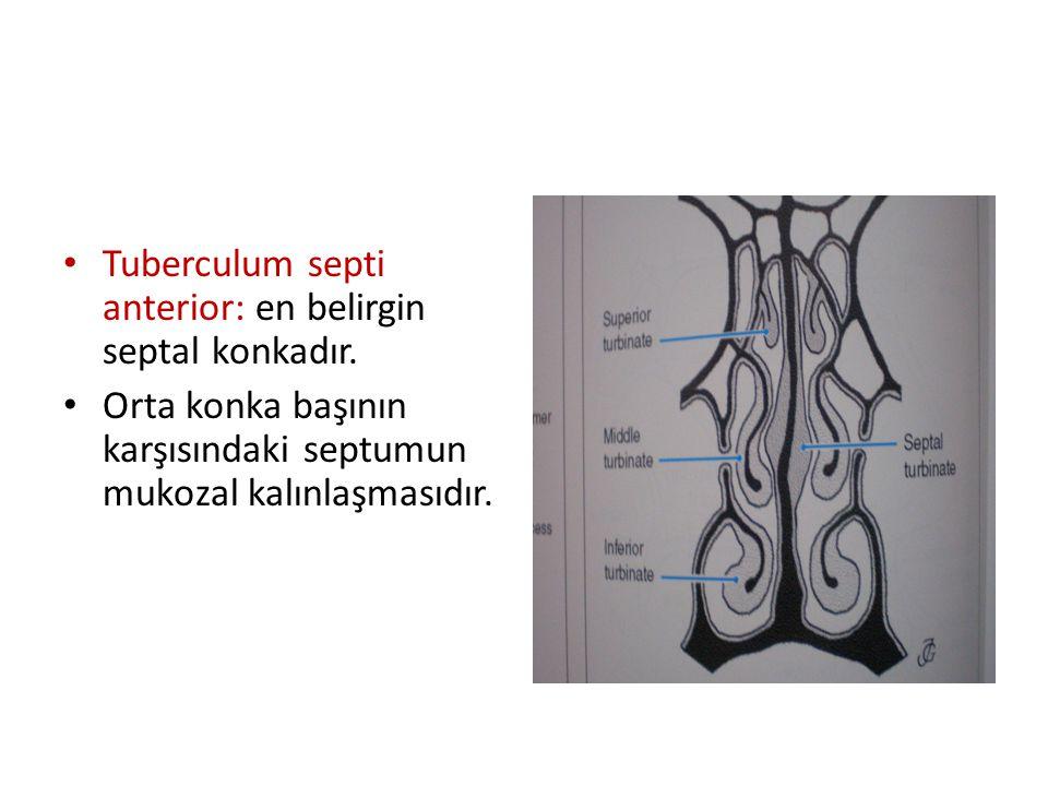 Tuberculum septi anterior: en belirgin septal konkadır. Orta konka başının karşısındaki septumun mukozal kalınlaşmasıdır.