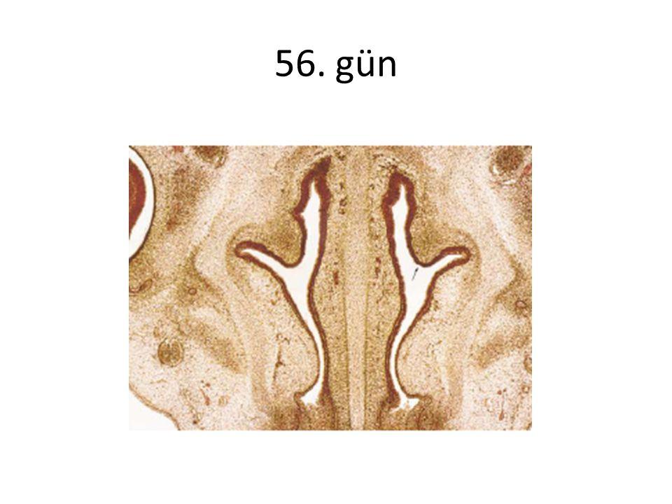 EMBRİYOLOJİ 6.gebelik haftasında lateral nazal duvar oluşur.