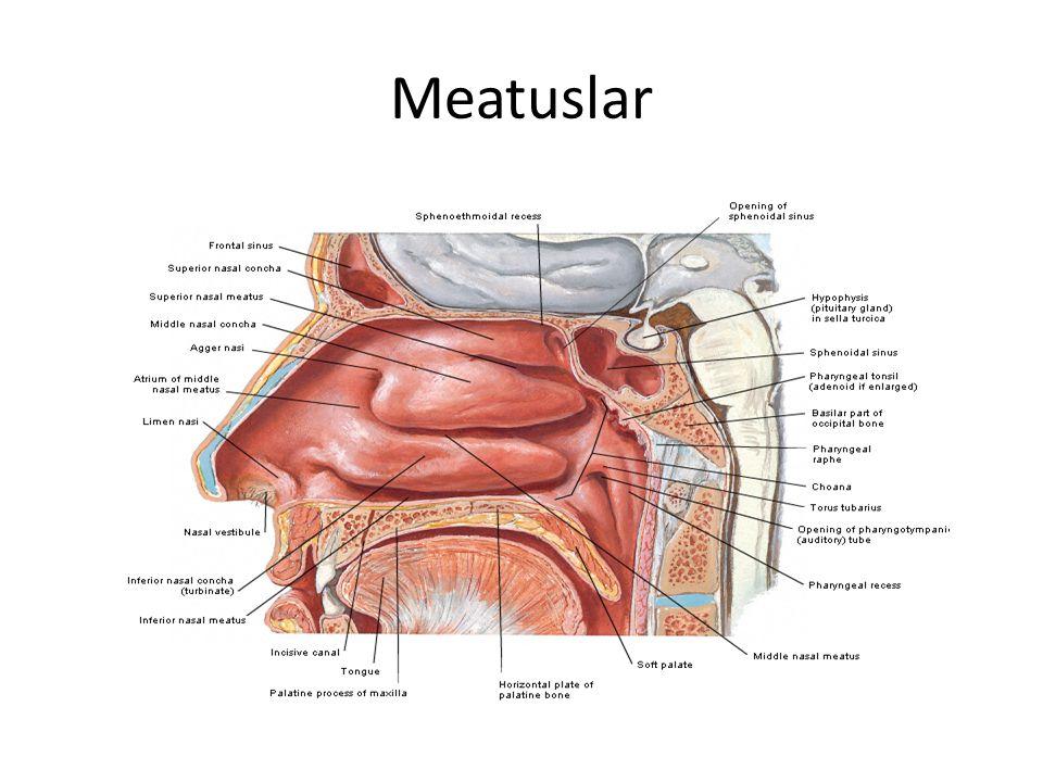 Meatuslar