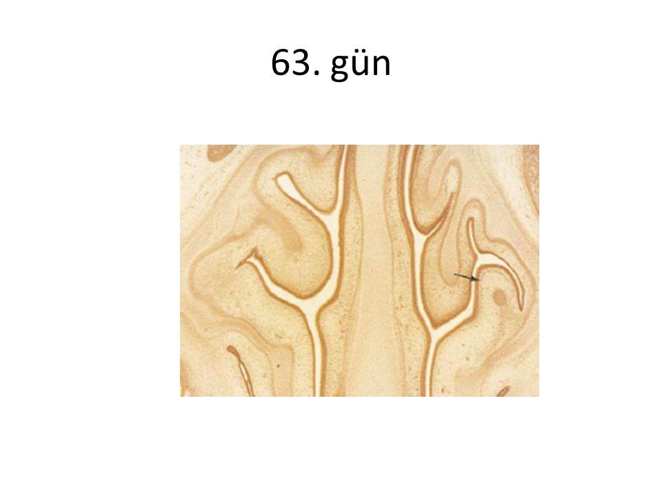 Huizing'e göre burun alanları 1- Anterior segment ;nostril, vestibül valv bölgesi 2- Orta segment; konkalar, septum ve sinus osteumları 3- Arka segment;konka kuyrukları, sfenoid sinüs ön duvarı ve koana