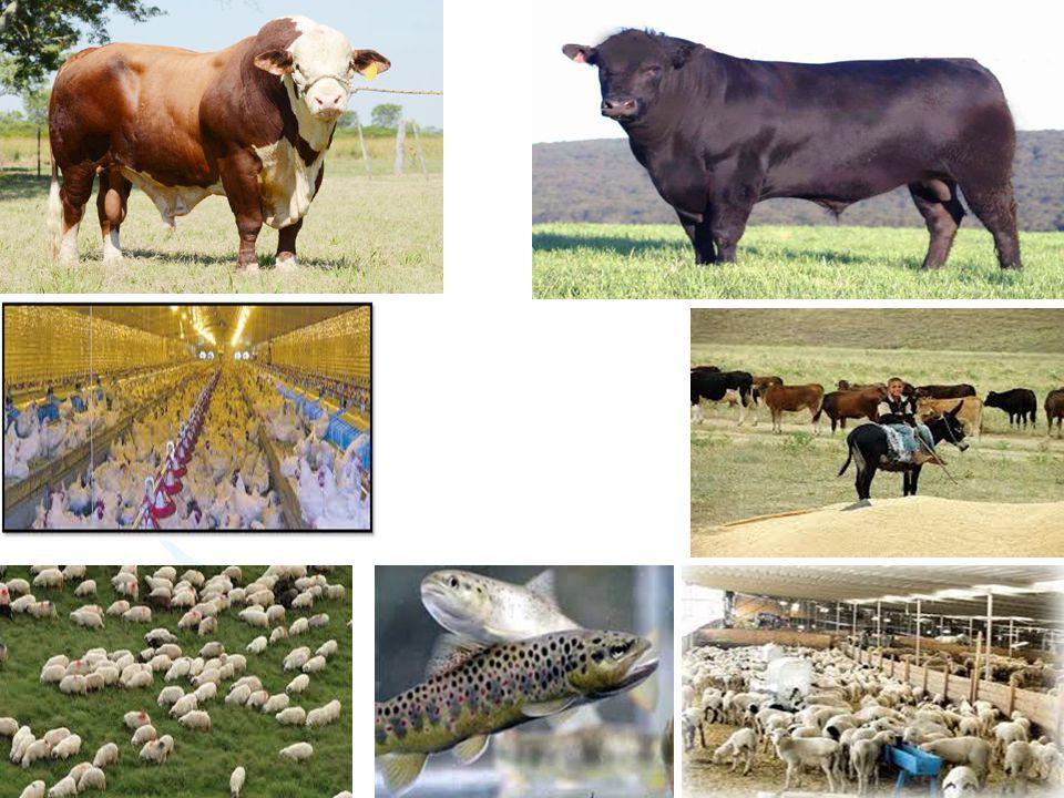 Geniş anlamda hayvancılık tarımsal etkinlerin bir koludur.