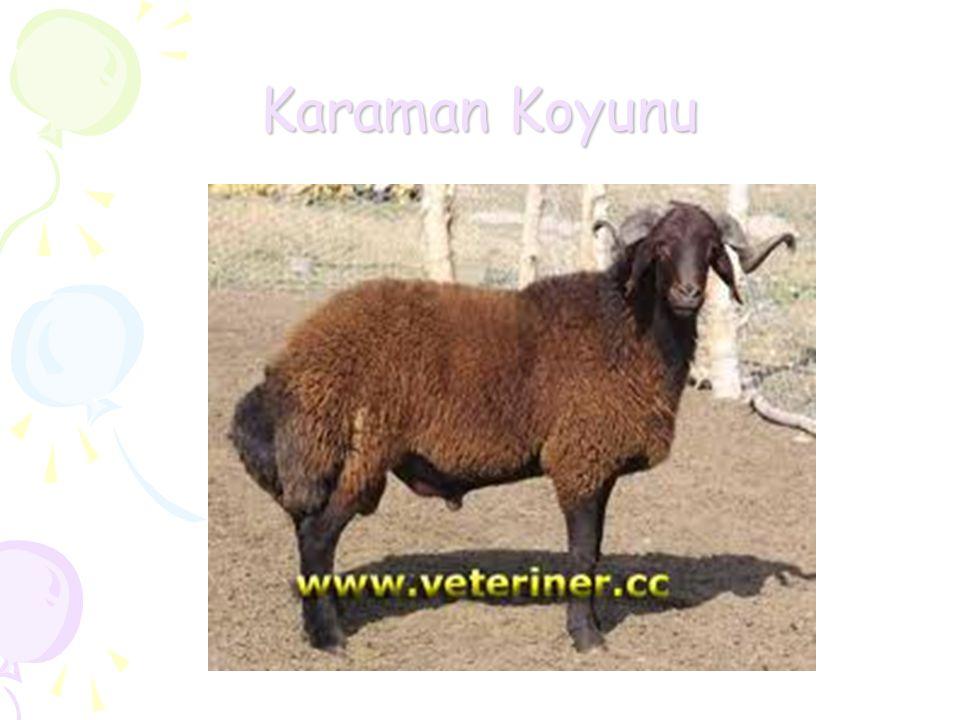 Karaman Koyunu