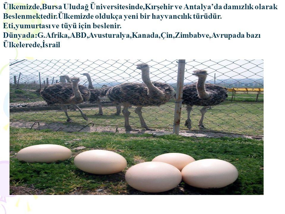 Ülkemizde,Bursa Uludağ Üniversitesinde,Kırşehir ve Antalya'da damızlık olarak Beslenmektedir.Ülkemizde oldukça yeni bir hayvancılık türüdür. Eti,yumur