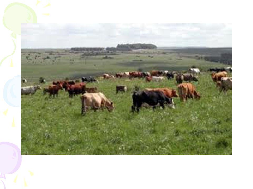 2) Ahır Hayvancılığının Özellikleri Hayvancılık doğal koşullara bağlı değildir.