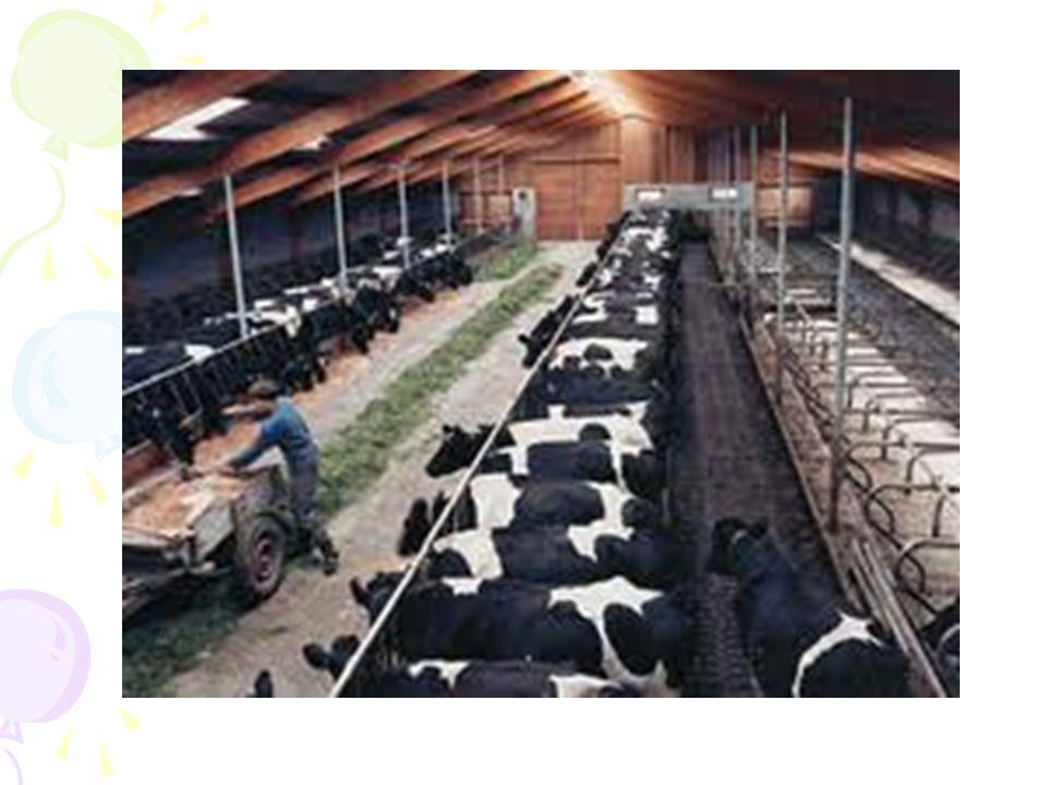 İnek: Türkiye'nin doğal koşulları büyükbaş hayvan yetiştiriciliği için elverişli değildir.
