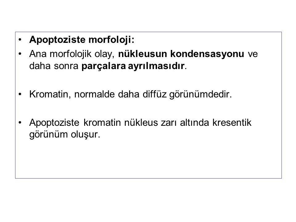 Apoptoziste morfoloji: Ana morfolojik olay, nükleusun kondensasyonu ve daha sonra parçalara ayrılmasıdır. Kromatin, normalde daha diffüz görünümdedir.