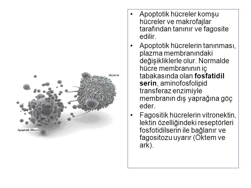 Apoptotik hücreler komşu hücreler ve makrofajlar tarafından tanınır ve fagosite edilir. Apoptotik hücrelerin tanınması, plazma membranındaki değişikli