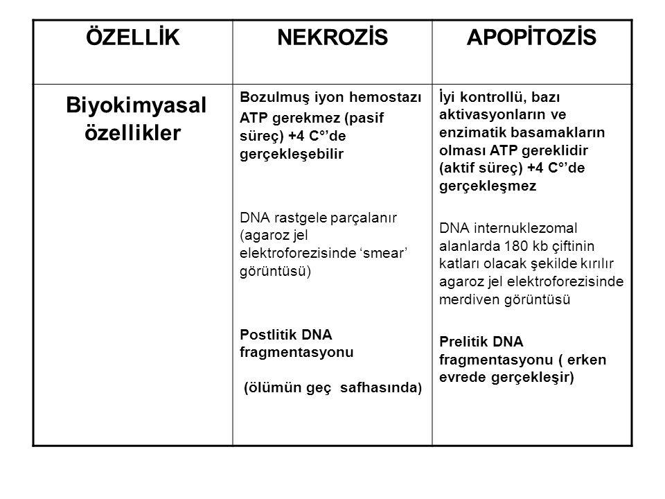 ÖZELLİKNEKROZİSAPOPİTOZİS Biyokimyasal özellikler Bozulmuş iyon hemostazı ATP gerekmez (pasif süreç) +4 C°'de gerçekleşebilir DNA rastgele parçalanır