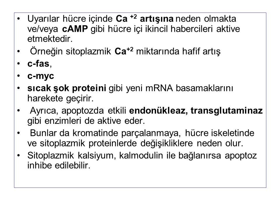 Uyarılar hücre içinde Ca +2 artışına neden olmakta ve/veya cAMP gibi hücre içi ikincil habercileri aktive etmektedir. Örneğin sitoplazmik Ca +2 miktar