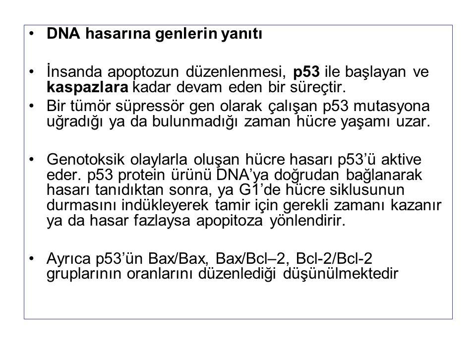 DNA hasarına genlerin yanıtı İnsanda apoptozun düzenlenmesi, p53 ile başlayan ve kaspazlara kadar devam eden bir süreçtir. Bir tümör süpressör gen ola