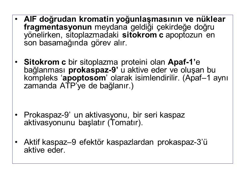 AIF doğrudan kromatin yoğunlaşmasının ve nüklear fragmentasyonun meydana geldiği çekirdeğe doğru yönelirken, sitoplazmadaki sitokrom c apoptozun en so