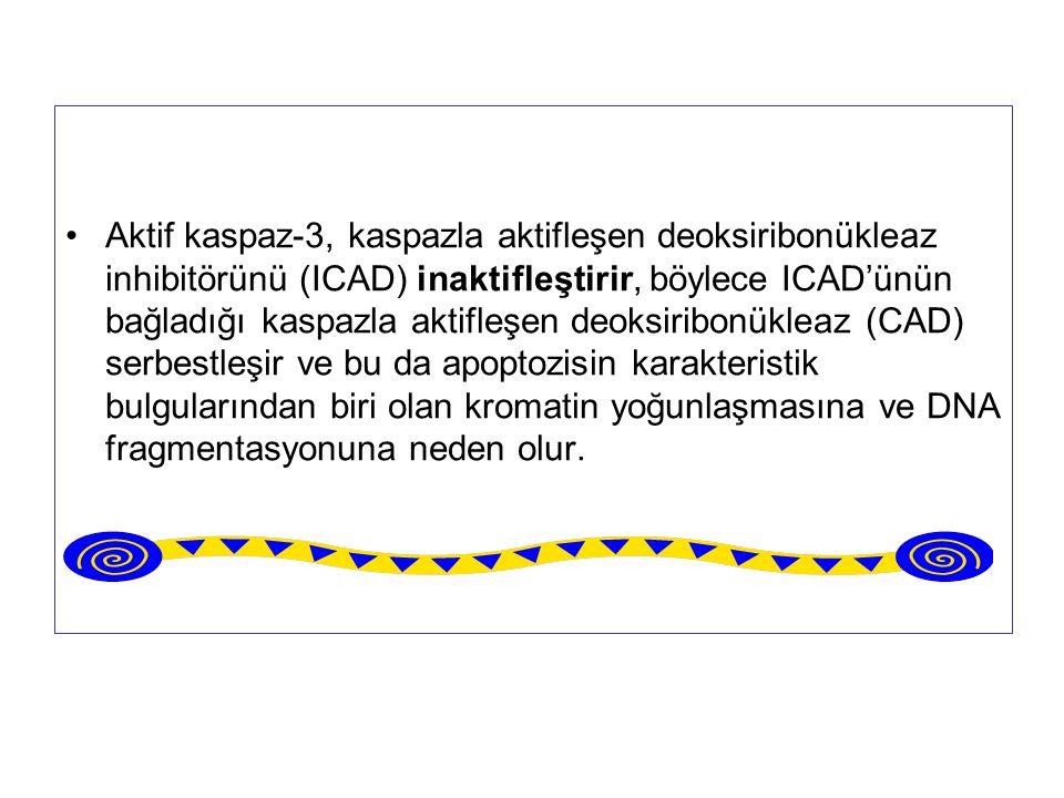 Aktif kaspaz-3, kaspazla aktifleşen deoksiribonükleaz inhibitörünü (ICAD) inaktifleştirir, böylece ICAD'ünün bağladığı kaspazla aktifleşen deoksiribon