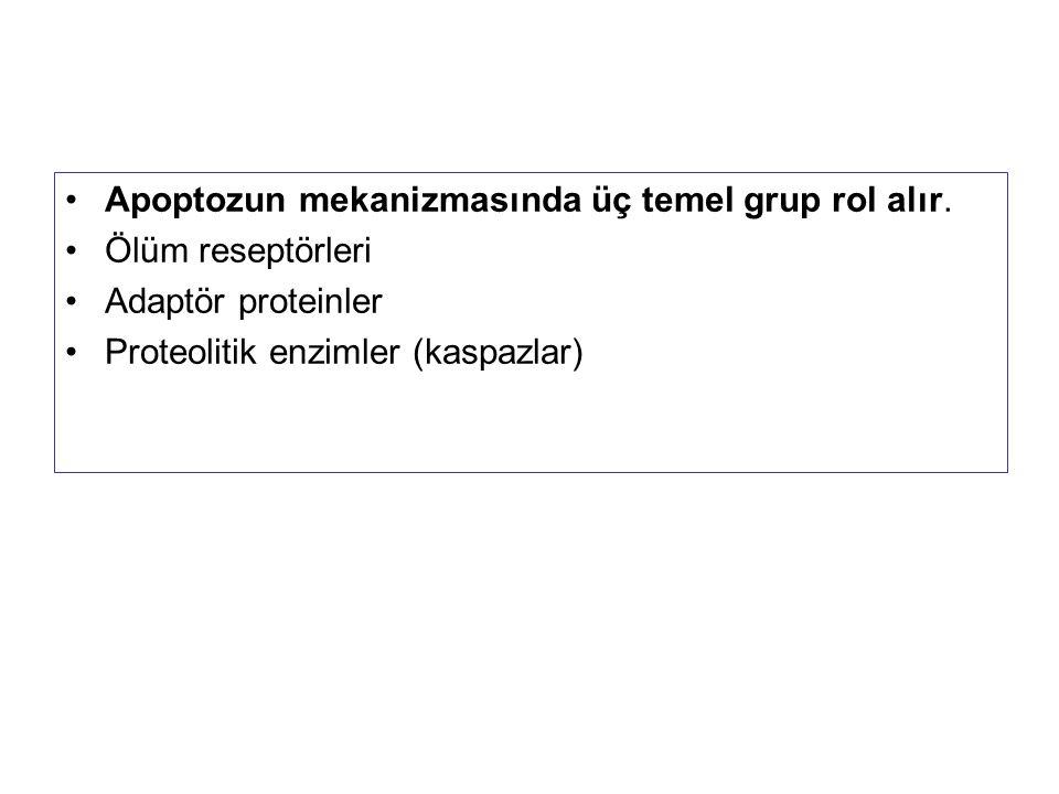 Apoptozun mekanizmasında üç temel grup rol alır. Ölüm reseptörleri Adaptör proteinler Proteolitik enzimler (kaspazlar)