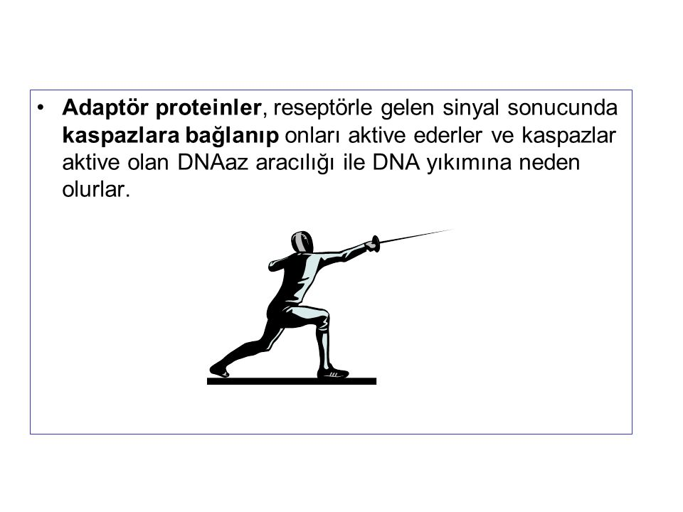 Adaptör proteinler, reseptörle gelen sinyal sonucunda kaspazlara bağlanıp onları aktive ederler ve kaspazlar aktive olan DNAaz aracılığı ile DNA yıkım