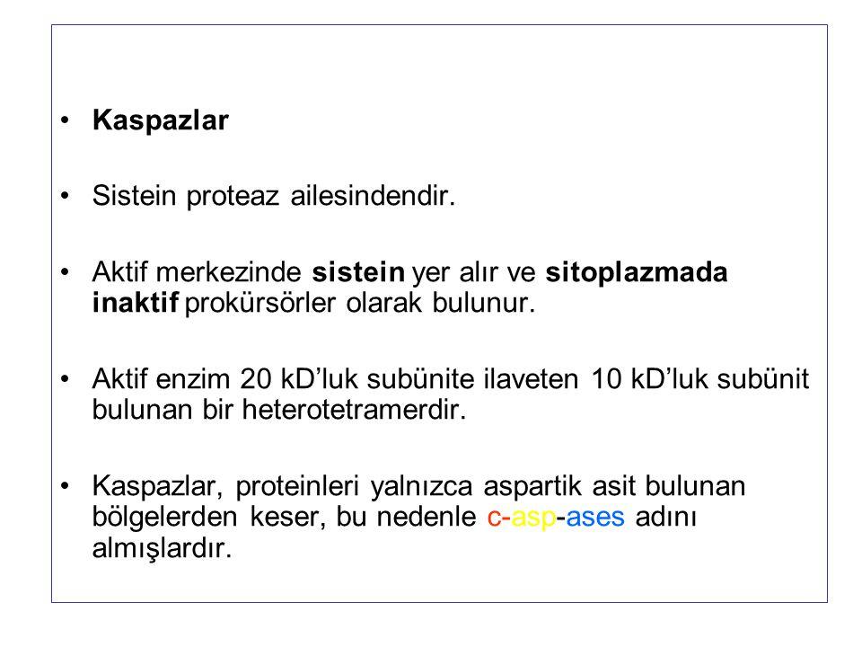 Kaspazlar Sistein proteaz ailesindendir. Aktif merkezinde sistein yer alır ve sitoplazmada inaktif prokürsörler olarak bulunur. Aktif enzim 20 kD'luk