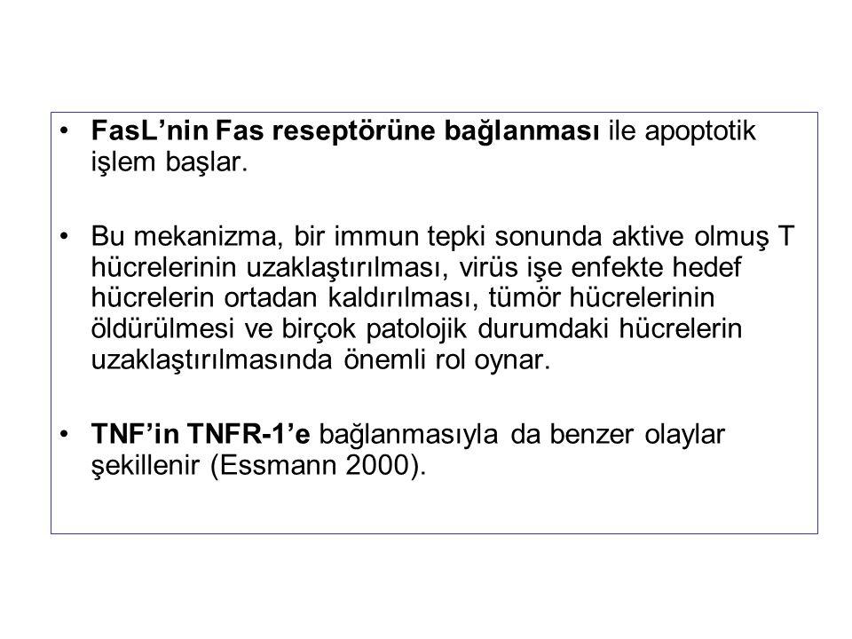 FasL'nin Fas reseptörüne bağlanması ile apoptotik işlem başlar. Bu mekanizma, bir immun tepki sonunda aktive olmuş T hücrelerinin uzaklaştırılması, vi