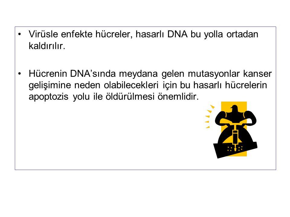 Virüsle enfekte hücreler, hasarlı DNA bu yolla ortadan kaldırılır. Hücrenin DNA'sında meydana gelen mutasyonlar kanser gelişimine neden olabilecekleri