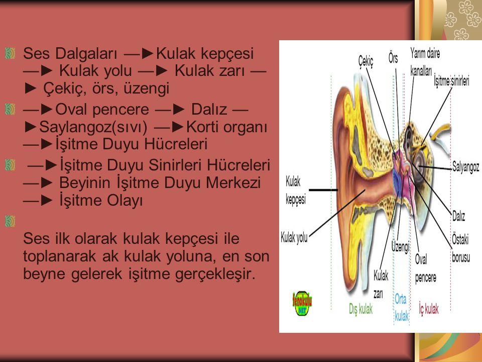 Ses Dalgaları —►Kulak kepçesi —► Kulak yolu —► Kulak zarı — ► Çekiç, örs, üzengi —►Oval pencere —► Dalız — ►Saylangoz(sıvı) —►Korti organı —►İşitme Duyu Hücreleri —►İşitme Duyu Sinirleri Hücreleri —► Beyinin İşitme Duyu Merkezi —► İşitme Olayı Ses ilk olarak kulak kepçesi ile toplanarak ak kulak yoluna, en son beyne gelerek işitme gerçekleşir.