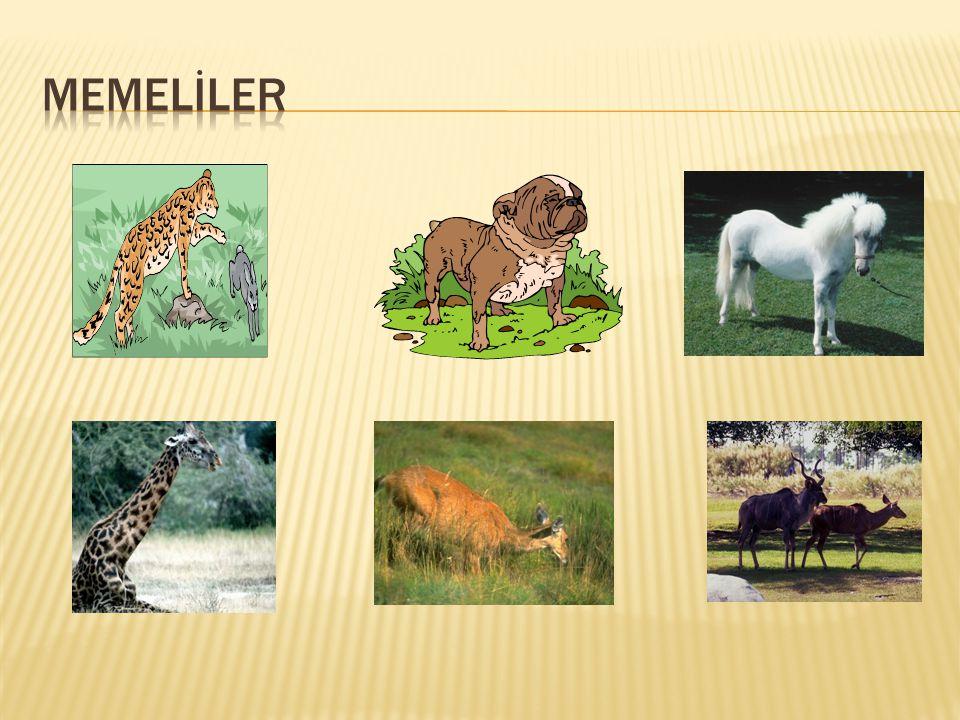 1)Memeliler yavrularını süt ile beslerler.2)Annelik duyguları gelişmiştir.
