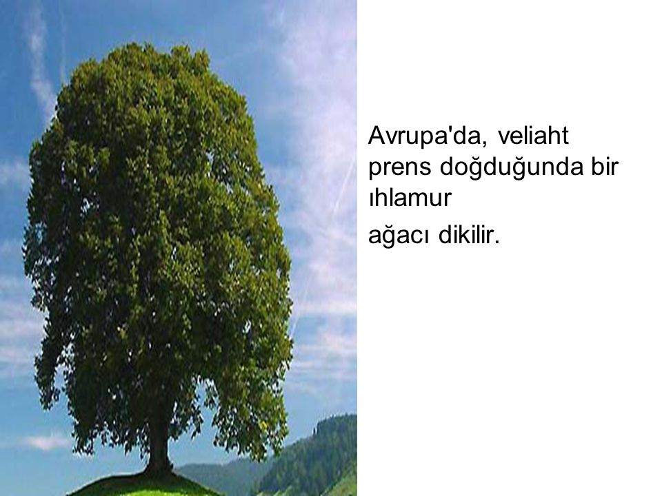 Avrupa'da, veliaht prens doğduğunda bir ıhlamur ağacı dikilir.
