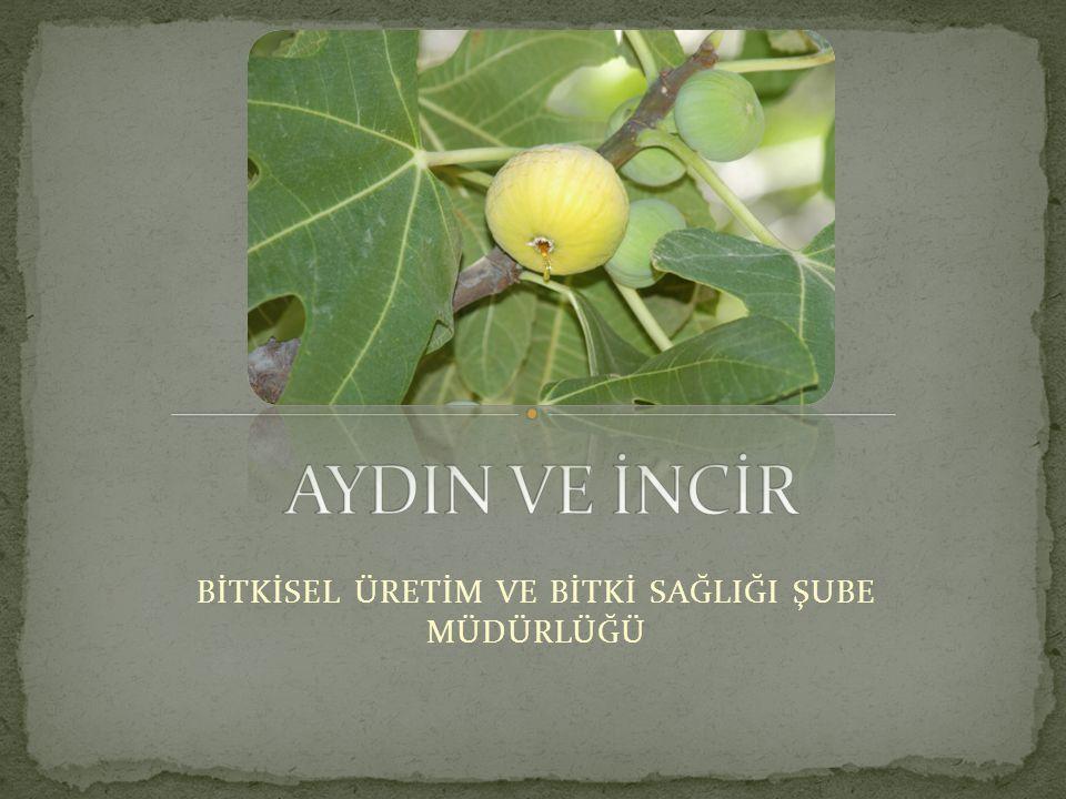 İncirin botanik ismi Ficus carica'dır.
