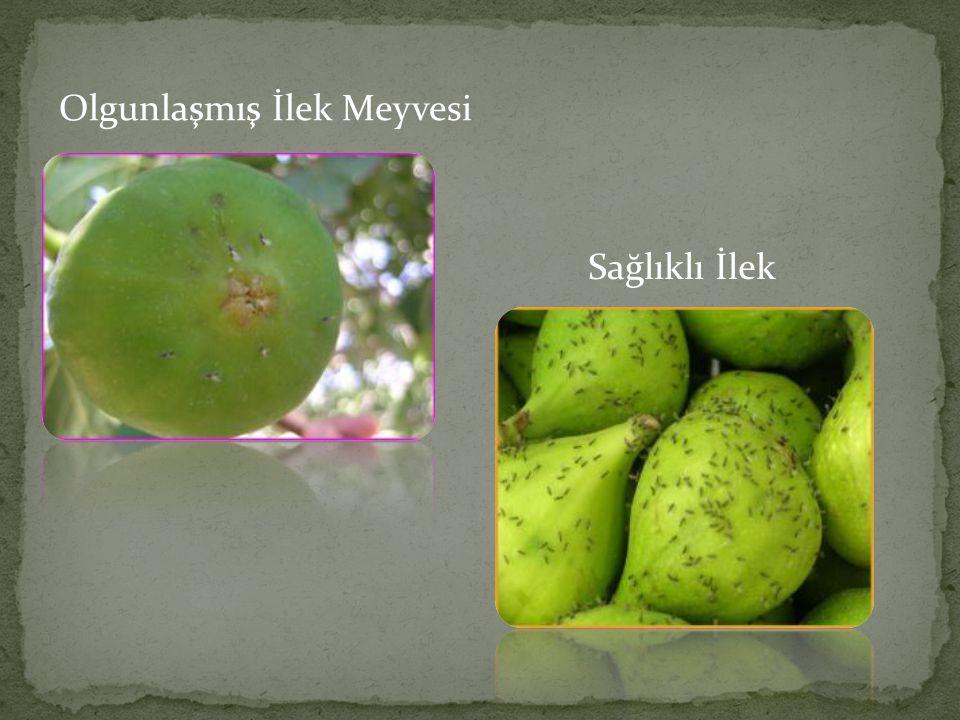 Olgunlaşmış İlek Meyvesi Sağlıklı İlek