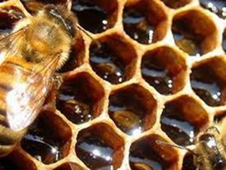 Arılar, petekleri örerek sonunda ortada birleşirler ve birleşme yerlerinde en küçük bir hata ya da uyumsuzluk söz konusu olmaz.