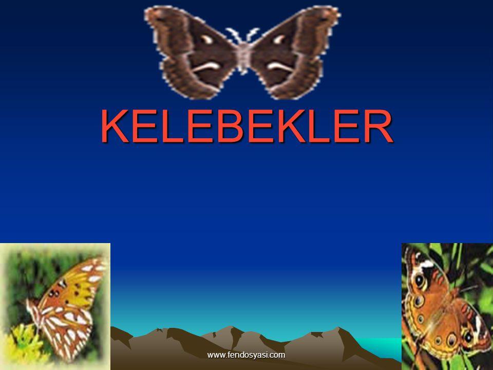 www.fendosyasi.com KELEBEKLERİN UZUN DİLLERİ Kelebeklerin pek çoğunun uzun bir burnu (Proboscis) vardır.