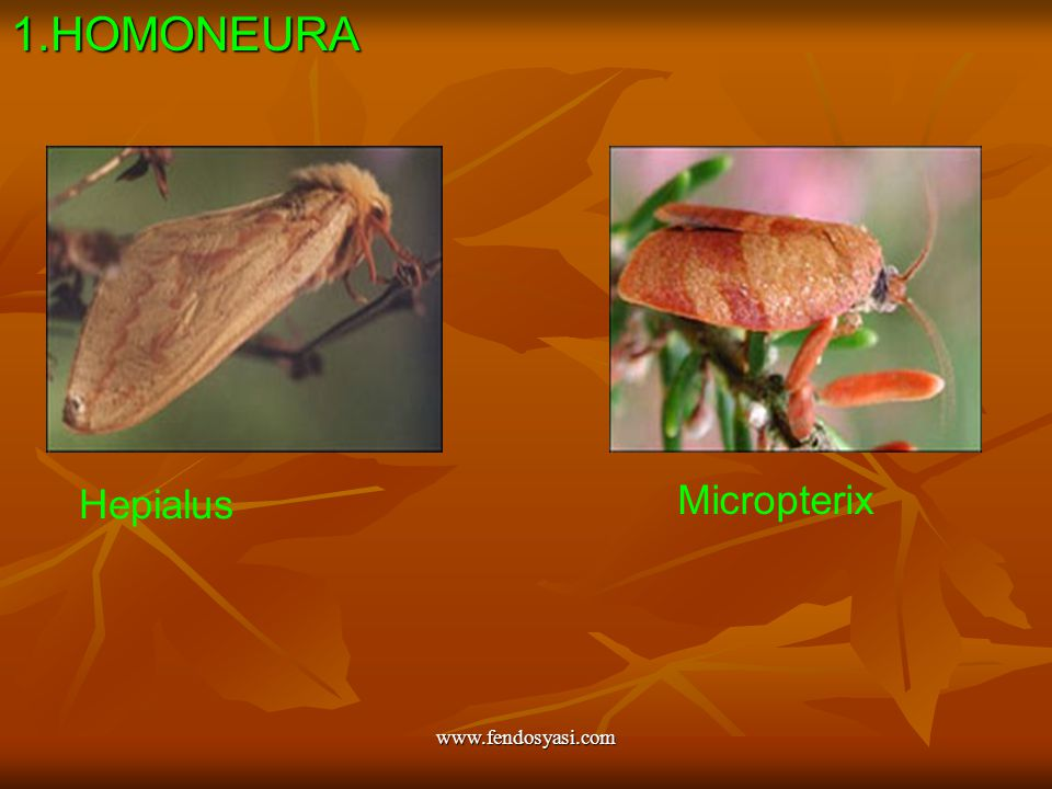 www.fendosyasi.com1.HOMONEURA Hepialus Micropterix