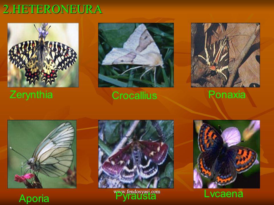 www.fendosyasi.com2.HETERONEURA Zerynthia Crocallius Ponaxia Aporia Pyrausta Lvcaena