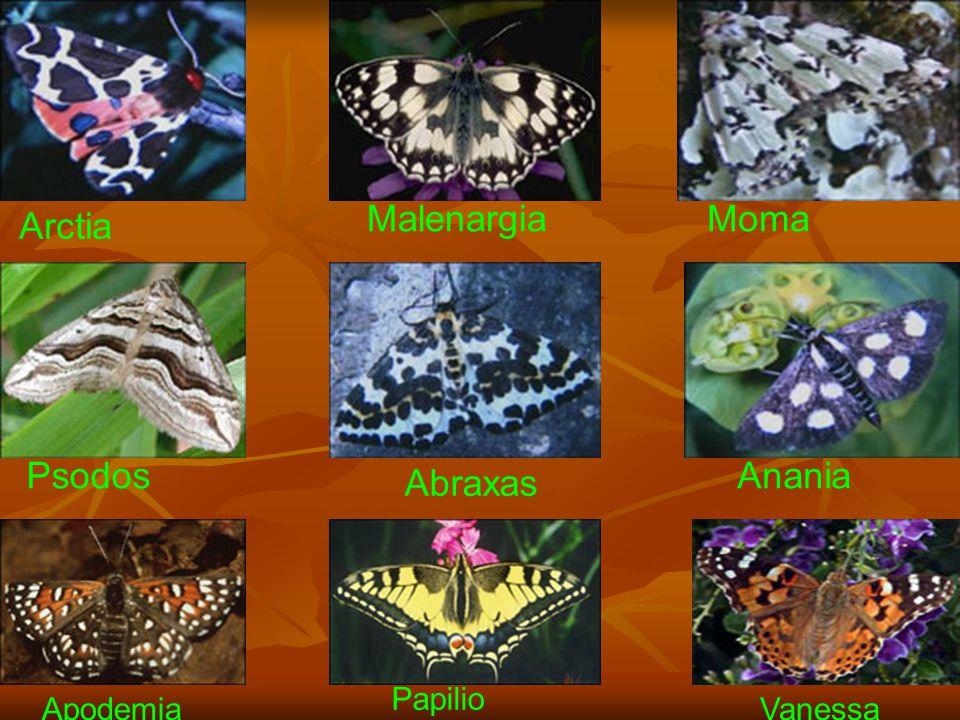 www.fendosyasi.com Arctia MalenargiaMoma Psodos Abraxas Anania Apodemia Papilio Vanessa