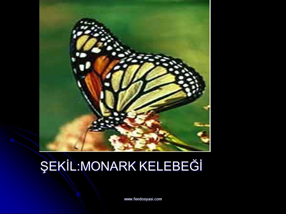 www.fendosyasi.com ŞEKİL:MONARK KELEBEĞİ