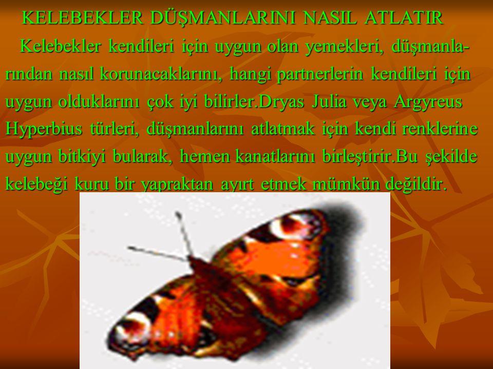 www.fendosyasi.com KELEBEKLER DÜŞMANLARINI NASIL ATLATIR KELEBEKLER DÜŞMANLARINI NASIL ATLATIR Kelebekler kendileri için uygun olan yemekleri, düşmanla- Kelebekler kendileri için uygun olan yemekleri, düşmanla- rından nasıl korunacaklarını, hangi partnerlerin kendileri için uygun olduklarını çok iyi bilirler.Dryas Julia veya Argyreus Hyperbius türleri, düşmanlarını atlatmak için kendi renklerine uygun bitkiyi bularak, hemen kanatlarını birleştirir.Bu şekilde kelebeği kuru bir yapraktan ayırt etmek mümkün değildir.