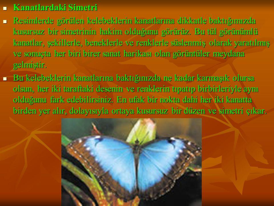 Kanatlardaki Simetri Kanatlardaki Simetri Resimlerde görülen kelebeklerin kanatlarına dikkatle baktığımızda kusursuz bir simetrinin hakim olduğunu görürüz.