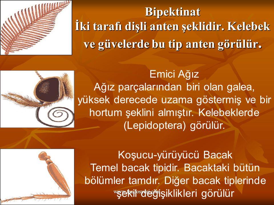 www.fendosyasi.com Bipektinat İki tarafı dişli anten şeklidir.