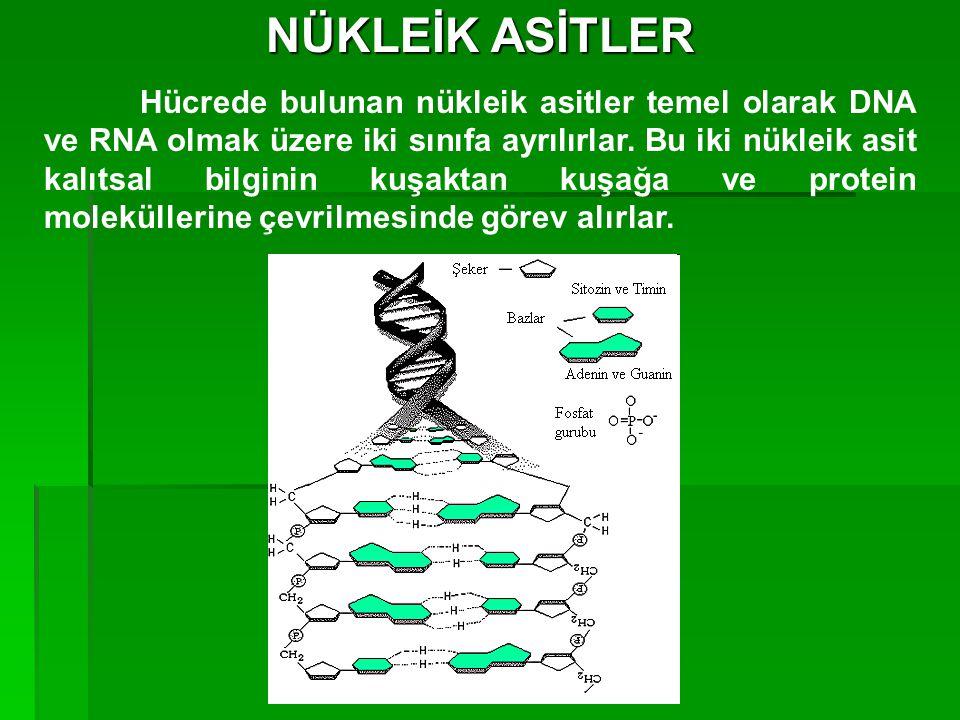 NÜKLEİK ASİTLER Hücrede bulunan nükleik asitler temel olarak DNA ve RNA olmak üzere iki sınıfa ayrılırlar. Bu iki nükleik asit kalıtsal bilginin kuşak