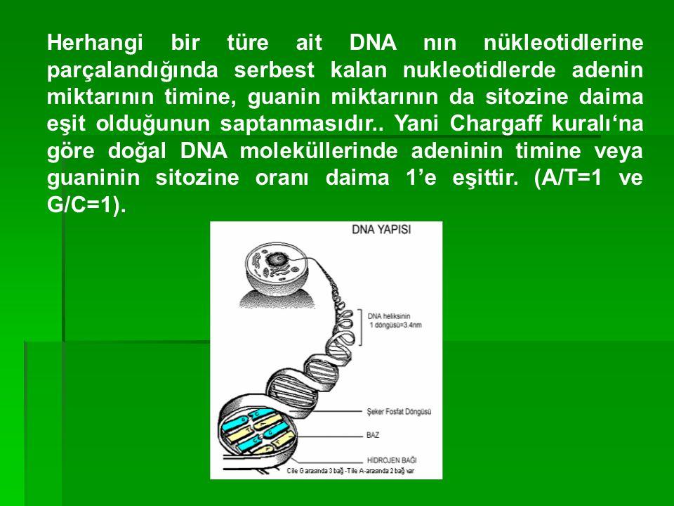Herhangi bir türe ait DNA nın nükleotidlerine parçalandığında serbest kalan nukleotidlerde adenin miktarının timine, guanin miktarının da sitozine dai