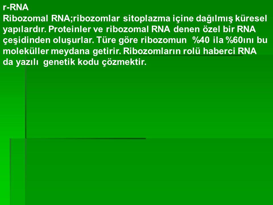 r-RNA Ribozomal RNA;ribozomlar sitoplazma içine dağılmış küresel yapılardır. Proteinler ve ribozomal RNA denen özel bir RNA çeşidinden oluşurlar. Türe
