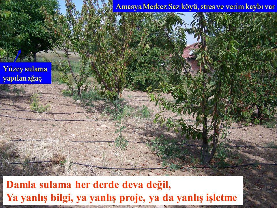 Amasya Merkez Saz köyü, stres ve verim kaybı var Yüzey sulama yapılan ağaç Damla sulama her derde deva değil, Ya yanlış bilgi, ya yanlış proje, ya da