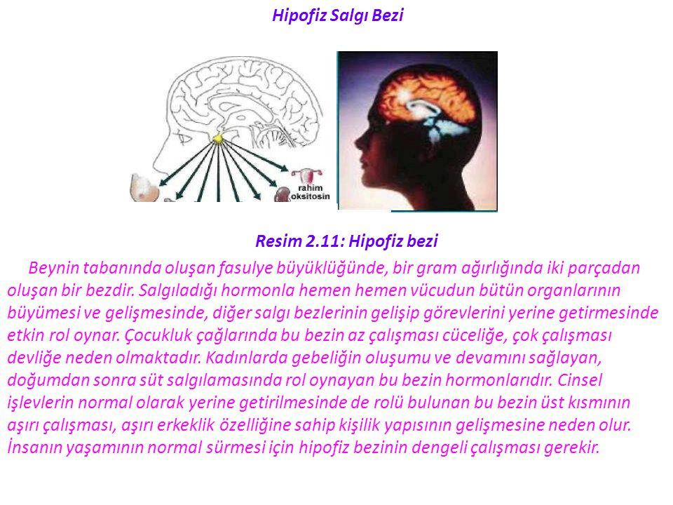Hipofiz Salgı Bezi Resim 2.11: Hipofiz bezi Beynin tabanında oluşan fasulye büyüklüğünde, bir gram ağırlığında iki parçadan oluşan bir bezdir. Salgıla