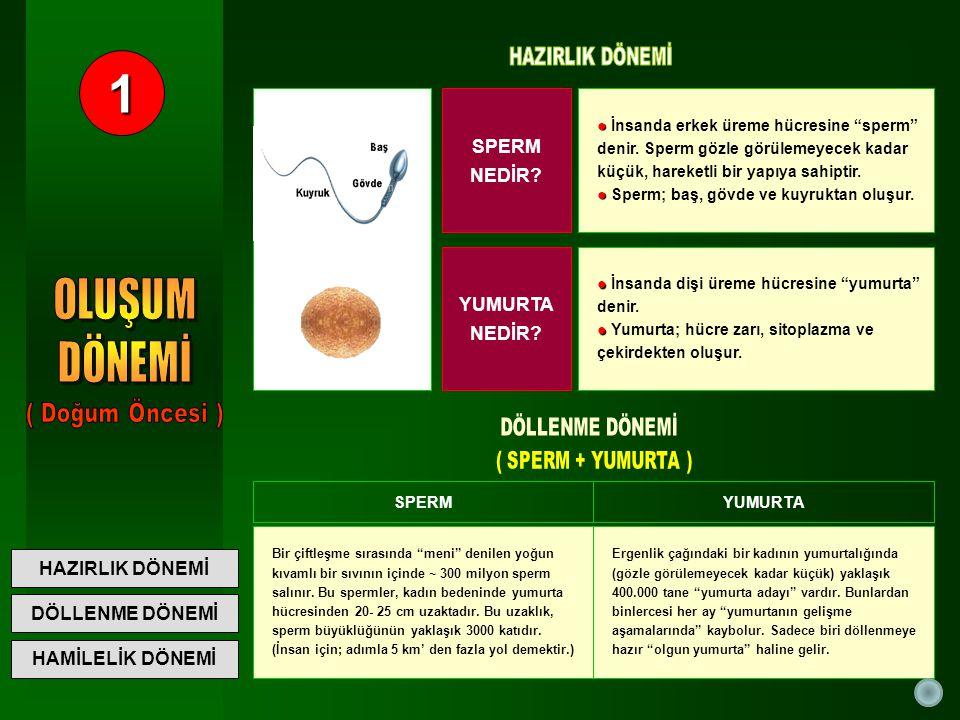 HÜCRELER SPERM: SPERM: Başı içinde erkeğin genetik şifresi ve DNA'sı vardır.