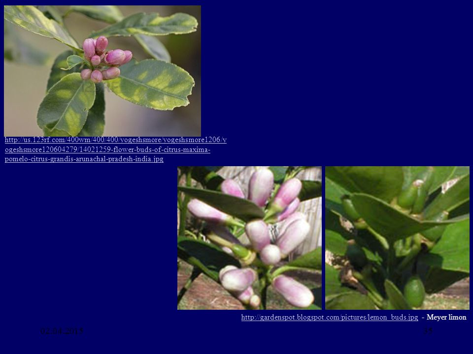 02.04.201535 http://us.123rf.com/400wm/400/400/yogeshsmore/yogeshsmore1206/y ogeshsmore120604279/14021259-flower-buds-of-citrus-maxima- pomelo-citrus-grandis-arunachal-pradesh-india.jpg http://gardenspot.blogspot.com/pictures/lemon_buds.jpghttp://gardenspot.blogspot.com/pictures/lemon_buds.jpg - Meyer limon