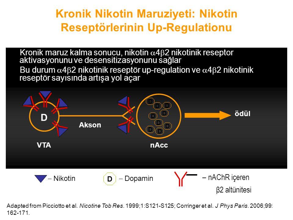 Kronik Nikotin Maruziyeti: Nikotin Reseptörlerinin Up-Regulationu Kronik maruz kalma sonucu, nikotin  4  2 nikotinik reseptor aktivasyonunu ve desen