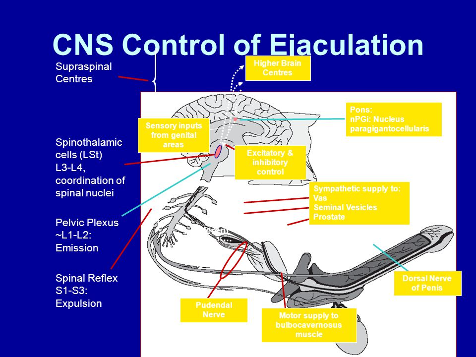 CNS Control of Ejaculation Pudendal Nerve afferent Sympathetic supply to: Vas Seminal Vesicles Prostate Spinal Reflex S1-S3: Expulsion Pelvic Plexus ~