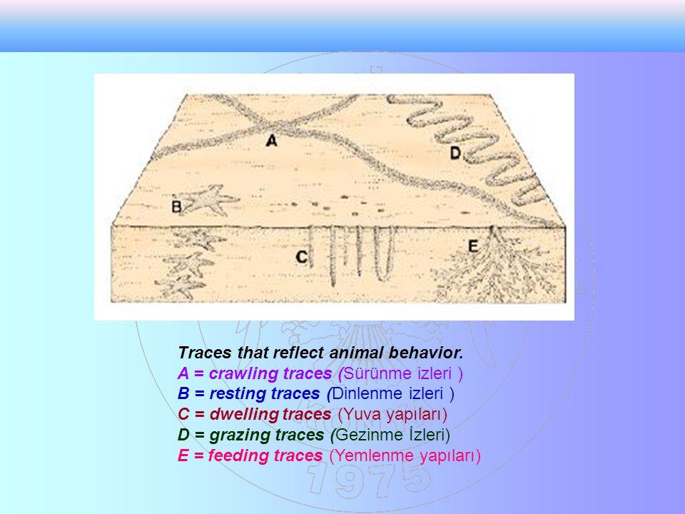 Traces that reflect animal behavior. A = crawling traces (Sürünme izleri ) B = resting traces (Dinlenme izleri ) C = dwelling traces (Yuva yapıları) D