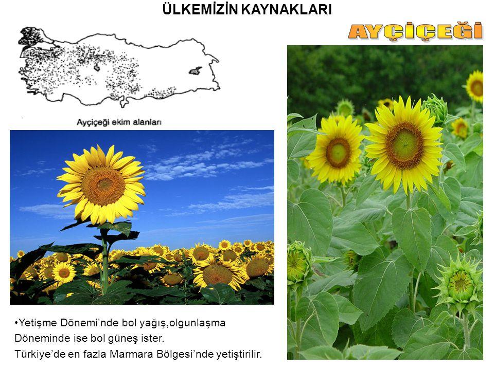 ÜLKEMİZİN KAYNAKLARI Yetişme Dönemi'nde bol yağış,olgunlaşma Döneminde ise bol güneş ister. Türkiye'de en fazla Marmara Bölgesi'nde yetiştirilir.