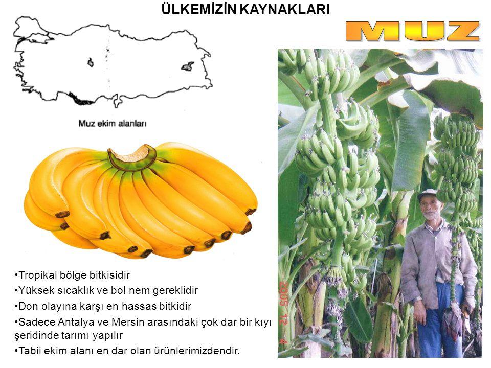 ÜLKEMİZİN KAYNAKLARI Tropikal bölge bitkisidir Yüksek sıcaklık ve bol nem gereklidir Don olayına karşı en hassas bitkidir Sadece Antalya ve Mersin ara