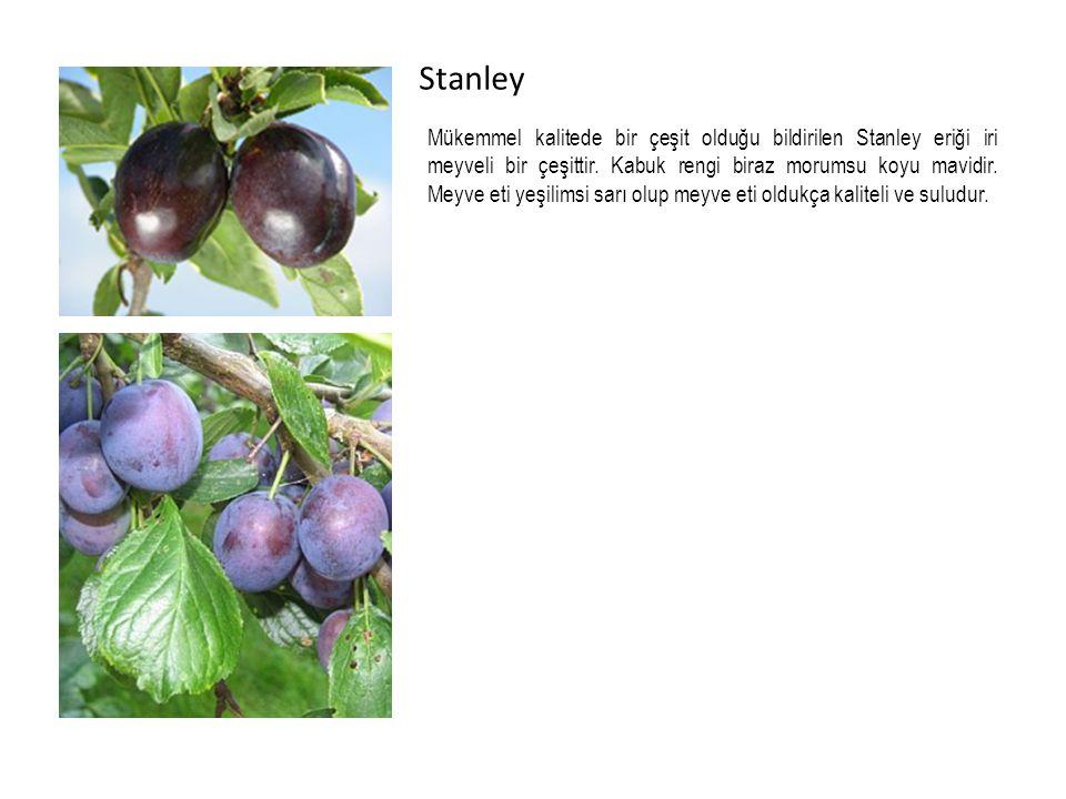 Stanley Mükemmel kalitede bir çeşit olduğu bildirilen Stanley eriği iri meyveli bir çeşittir.